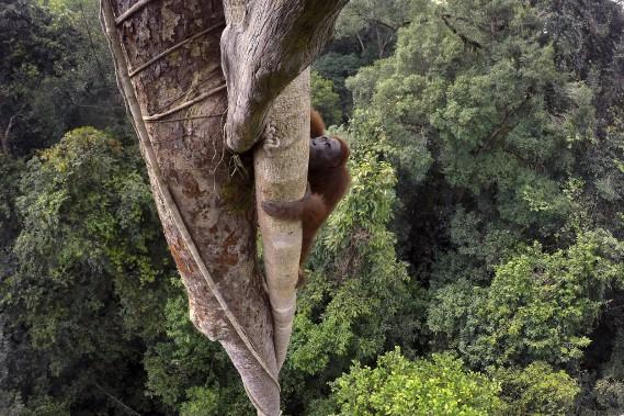 Cette photo d'un orang-outan de Bornéo qui grimpe dans un figuier étrangleur de 30m de haut pour se nourrir, prise en Indonésie, a valu le 1er Prix Reportages, Nature à l'Américain Tim Laman. (Photo courtoisie, Tim Laman)