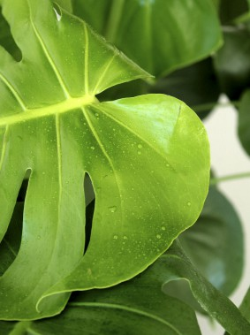 Le <i>philodendron Monstera</i> fait partie des plantes «select» vendues chez Folia Design. (Fournie par Folia Design)