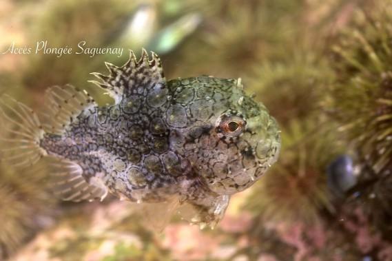 Une petite poule de mer Atlantique (Photo courtoisie, Accès plongée Saguenay)