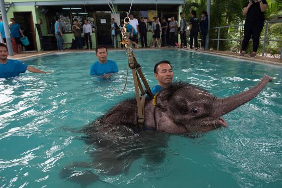 Un harnais aide les employés avec les mouvements de l'éléphanteau. (AFP)