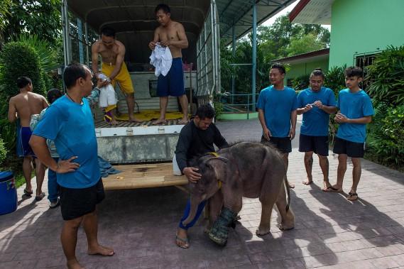 L'éléphanteau, qui bénéficie d'une prothèse, se déplace encore difficilement. (AFP)
