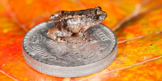 La grenouille miniature<em>Nyctibatrachusrobinmoorei</em> (AFP, S.D. Biju)