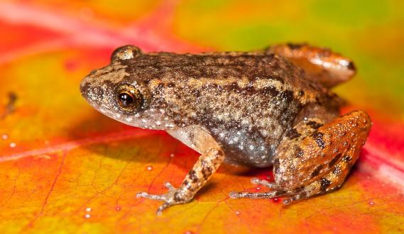 La grenouille miniature<em>Nyctibatrachus sabarimalai</em> (AFP, S.D. Biju)