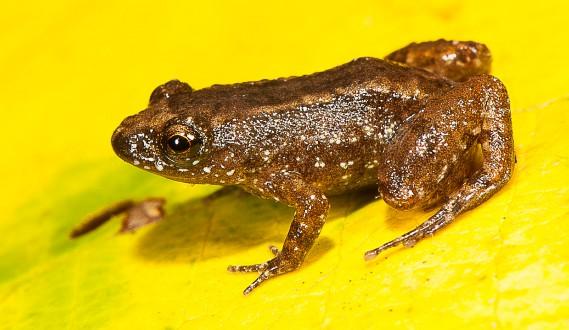 La grenouille miniature<em>Nyctibatrachus manalari</em> (AFP, S.D. Biju)