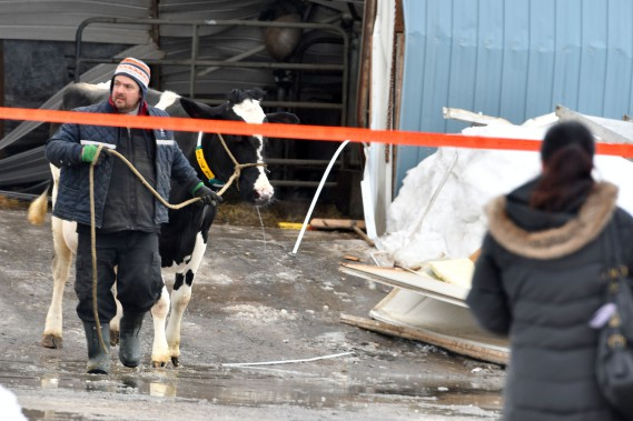 Les secours ont extirpé des décombres quelques bêtes en après-midi. Les vaches laitières de la ferme sont dans un autre bâtiment beaucoup plus récent. (Stéphane Lessard, Le Nouvelliste)