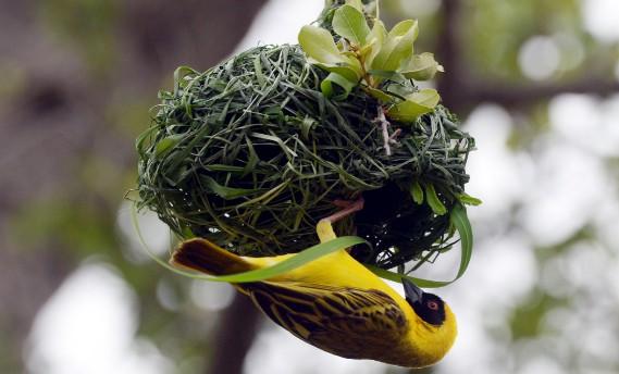 Le tisserand gendarme mâle en pleine construction d'un nid, essentiel pour séduire une compagne. «La femelle choisit le mâle en fonction du nid, sinon elle le détruit. À le voir aller, l'oiseau est sûrement un habitué de <i>Décore ta vie</i>...» (Le Soleil, Erick Labbé)