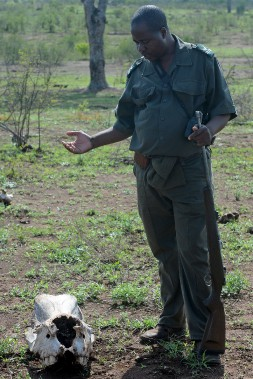 Le garde-forestier Oscar devant le crâne d'un rhinocéros. L'animal a été amputé de sa corne par des braconniers venus du Mozambique, le pays voisin. La photo a été prise au petit matin, lors d'une sortie à pied. (Le Soleil, Erick Labbé)