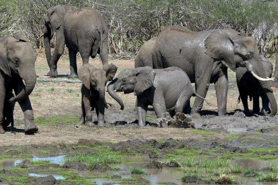 Un troupeau d'éléphants se désaltérant à un point d'eau. Les pachydermes en profitent aussi pour s'enduire le corps de boue, histoire de se protéger du soleil. (Le Soleil, Erick Labbé)
