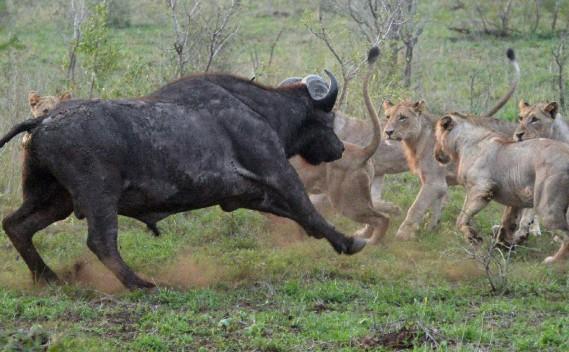 Un buffle tente de se défendre contre une horde de lionnes. L'affrontement a duré plus d'une heure. Une fois sur deux, c'est le buffle qui a raison de son assaillant. (Le Soleil, Erick Labbé)
