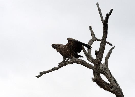 Un vautour perché sur un arbre, dans l'attente d'un repas. (Le Soleil, Erick Labbé)