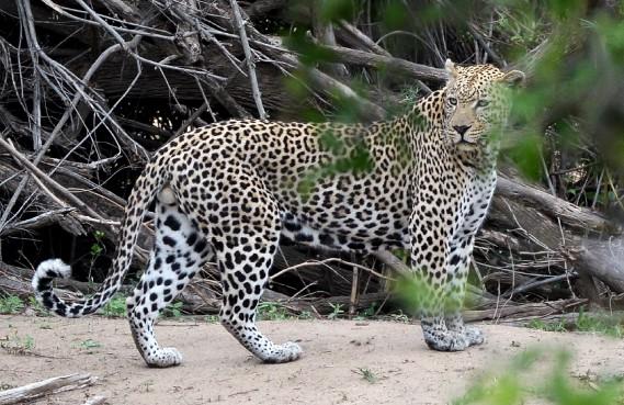 Pas facile de croquer un léopard sur le vif. Erick n'est pas peu fier de cette photo. «C'est un chasseur solitaire, très difficile à repérer.» (Le Soleil, Erick Labbé)