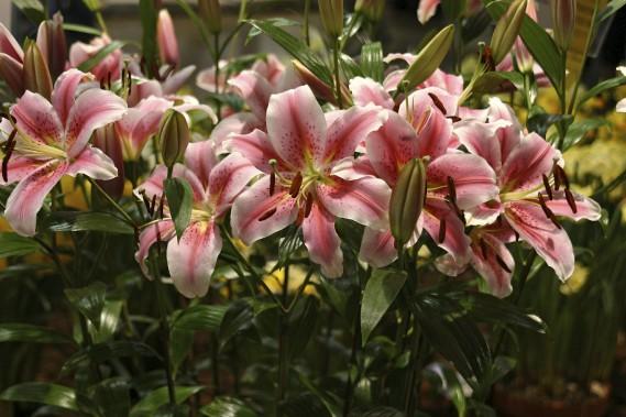 Lis (<em>Lilium spp.</em>) (Photos www.jardinierparesseux.com)
