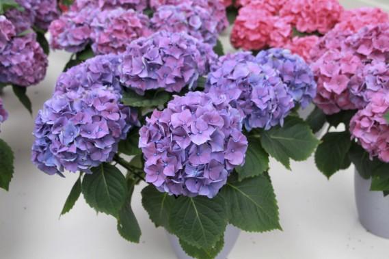 Hydrangée des fleuristesou quatre-saisons (Photos www.jardinierparesseux.com)