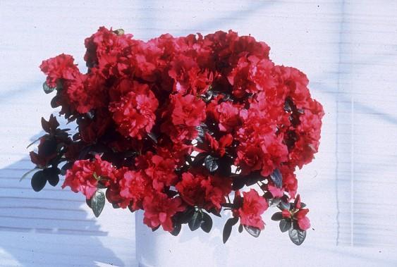 Azalée (<em>Rhododendron simsii</em>) (Photos www.jardinierparesseux.com)
