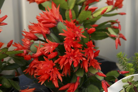 Cactus de Pâques (<em>Hatiora x graeseri, anc. Rhipsalidopsis x graeseri</em>) (Photos www.jardinierparesseux.com)