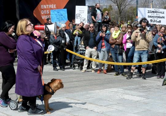 Ils étaient plus d'une centaine de propriétaires de chiens de toutes races réunis devant l'Assemblée nationale, dont la populaire avocate et animatrice, Me Anne-France Goldwater et son chien pitbull, Spot, qu'elle a sauvé de la maltraitance. (Le Soleil, Erick Labbé)