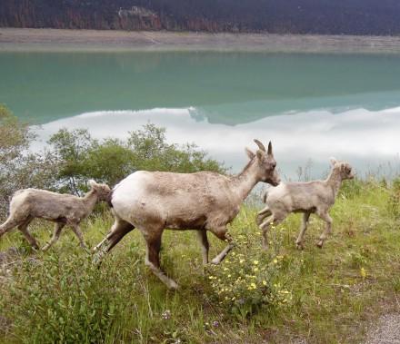 Une famille de mouflons d'Amérique croisée sur les rives du Medicine Lake. (Collaboration spéciale Normand Provencher)