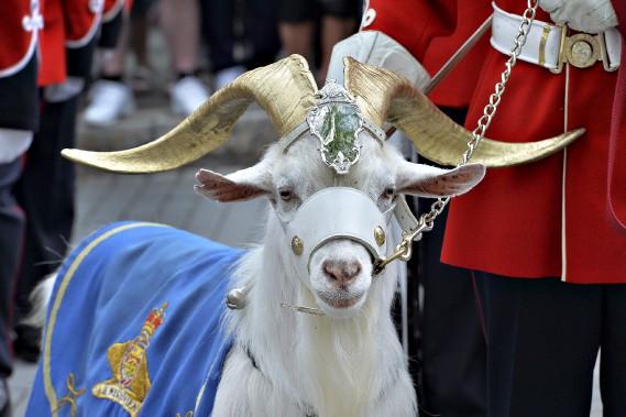 Le bouc Batisse, la mascotte du Royal 22<sup>e</sup> Régiment, avait fière allure. Icône du Régiment, il est le 11<sup>e</sup> de sa lignée, alors que Batisse I a été offert au Régiment par la reine Elizabeth II en 1955. (Le Soleil, Patrice Laroche)