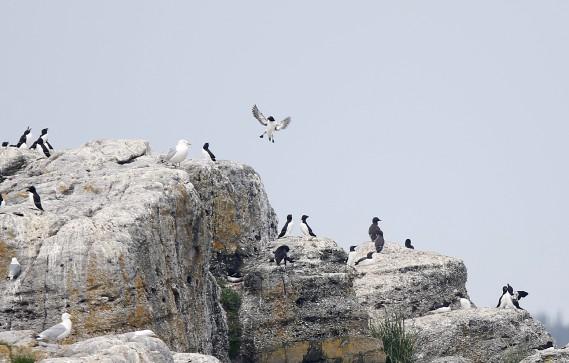 De nombreux oiseaux peuvent être observés sur l'île du Pot à l'eau-de-Vie, en route vers l'Île-aux-Lièvres (Le Soleil, Yan Doublet)