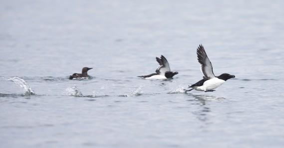Des canards prennent leur envol... (Le Soleil, Yan Doublet)