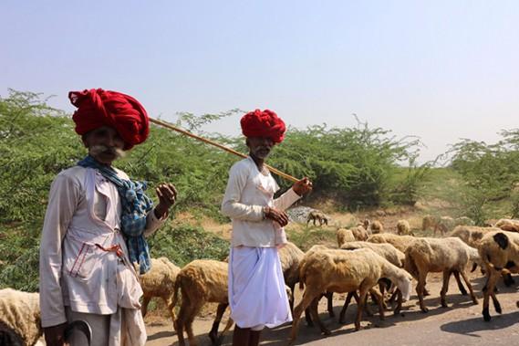 Deux nomades de la caste des Rebaris - reconnaissables à leurs moustaches - s'occupant des moutons et des chameaux. (Crédit photo Chantal Lapointe)