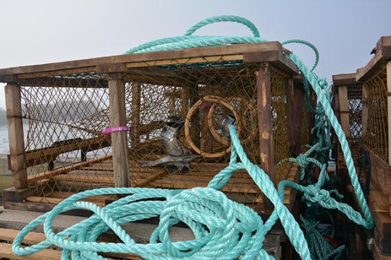 Toutes les cages sont « boëttées » : on y place des appâts pour attirer le homard. Chaque pêcheur a sa recette : plie, maquereau, hareng, sébaste... ()