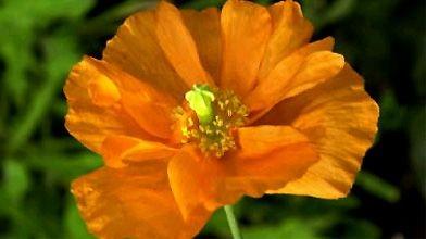 un pavot orange qui fleurit tout l 39 t jardiner. Black Bedroom Furniture Sets. Home Design Ideas