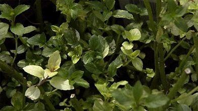 herbe extrement fine floraison blanc argenté