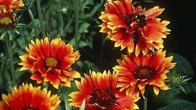 plantes vivaces qui fleurissent en été