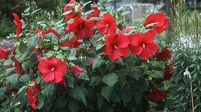 Un hibiscus qui ne fleurit pas larry hodgson cour et - Comment entretenir un hibiscus ...