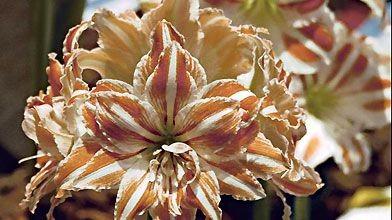 Une amaryllis pour no l larry hodgson jardiner for Amaryllis pour noel