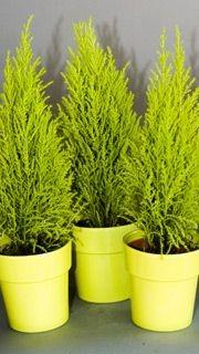 un conif re au parfum citronn pierre gingras jardiner. Black Bedroom Furniture Sets. Home Design Ideas