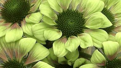 Les coloris de l'échinacée «Green Envy» sont uniques....