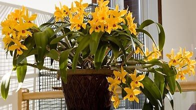 Mon cattleya «Gold Digger/Orchid Jungle» à la fin...