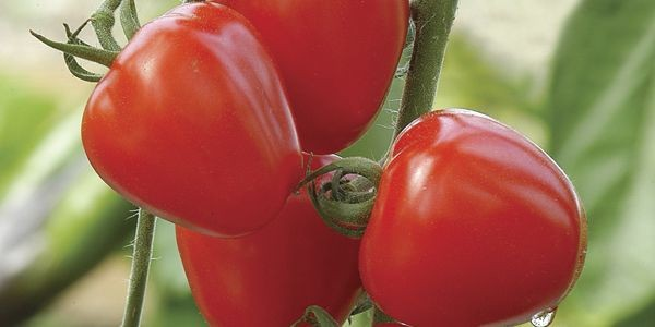 La nouvelle tomate cerise «Tomatoberry».... (Photo fournie par Johnny's Selected Seeds)