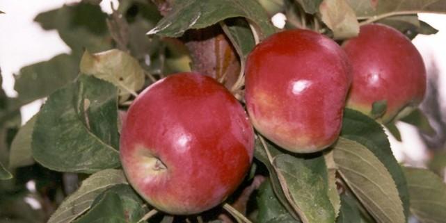 La pomme «McExcell» provient d'un pommier de type... (Photo fournie par Pierre Lavallée)