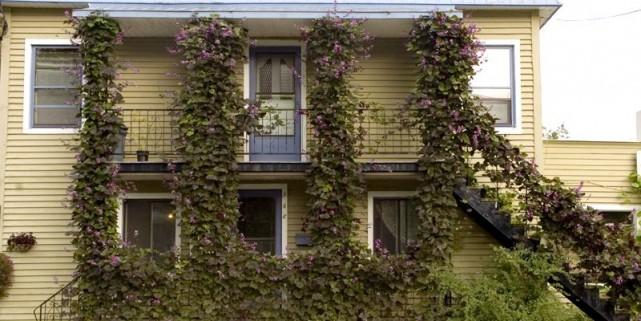 Les doliques sont des plantes grimpantes prolifiques, comme... (Photo Armand Trottier, La Presse)