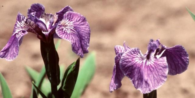 Iris setosa «Pointe Riche»... (Photo archives La Presse)