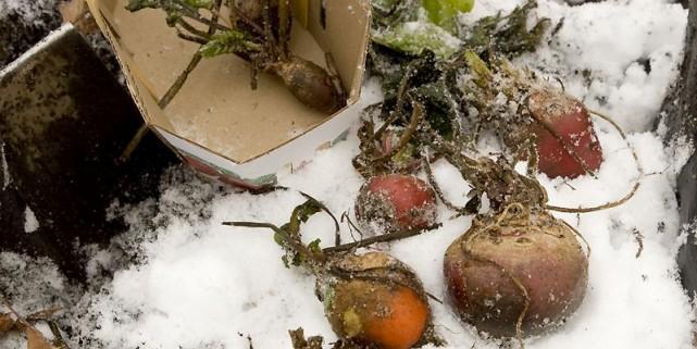 Récolte de betteraves dans mon potager le 11... (Photo Armand Trottier, La Presse)