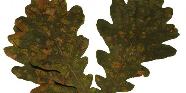 Le phylloxère du chêne... (Photo Armand Trottier, La Presse)