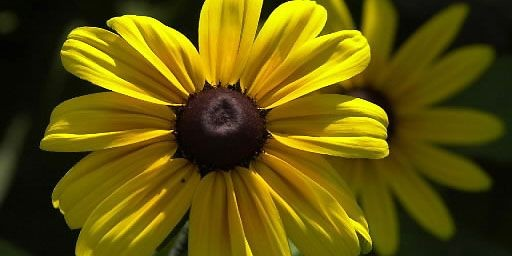 Rudbeckie «Irish Eye»... (Photo Pierre McCann, La Presse)