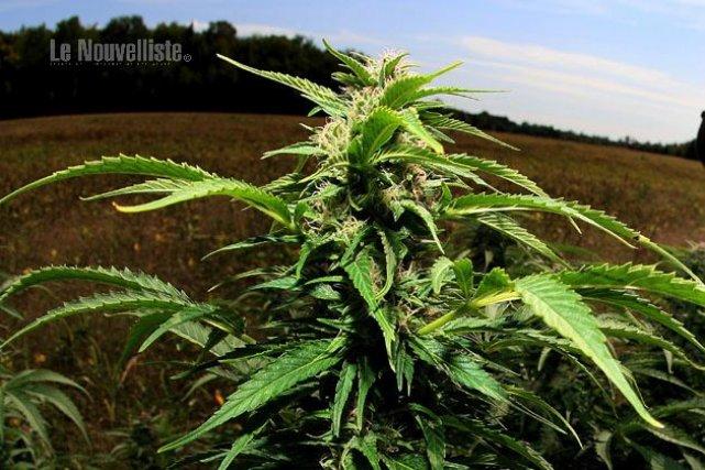 Culture de marijuana des fins th rapeutiques claude for Culture cannabis exterieur