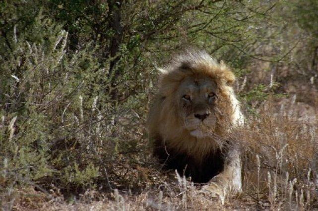 Les quelque 2 000 lions du Kenya sont menacés par des sécheresses répétées et... (Photo fournie par le Centre des sciences de Montréal)