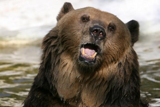 La Roumanie compte environ 6000 ours bruns,soit 60... (Archives AP)