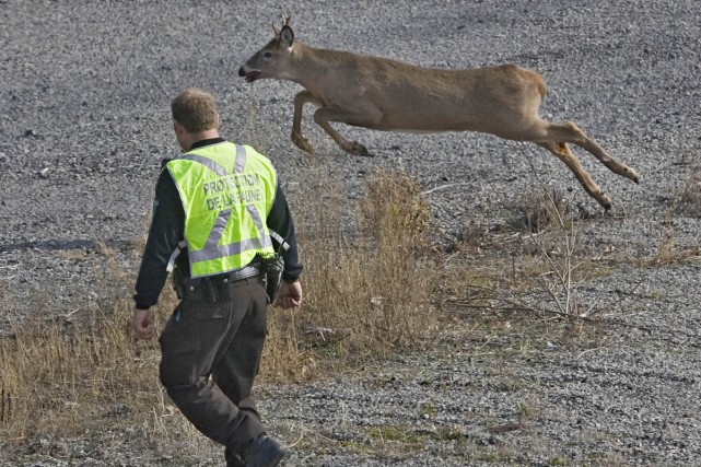 Les agents de protection de la faune ont... (Photo: Patrick Sanfaçon, La Presse)
