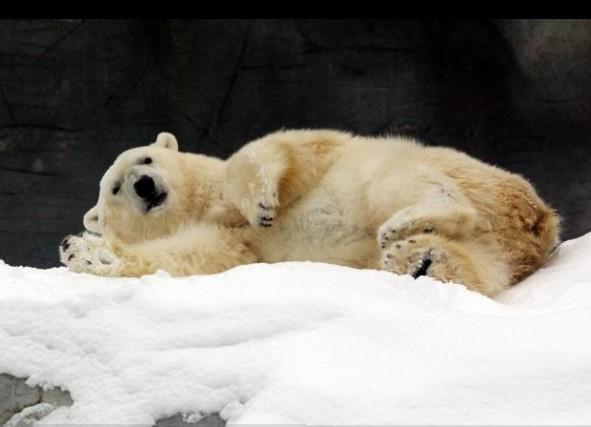 la peau de l 39 ours polaire continuera d 39 tre vendue anne chaon environnement. Black Bedroom Furniture Sets. Home Design Ideas