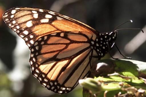 Ils aident un papillon bless migrer vers le sud insolite for Papillon new york