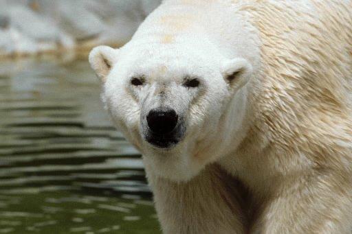 Un zoo japonais a tenté sans succès depuis un an d'accoupler deux ours... (Photo: AFP)
