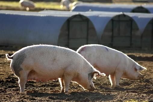 De la viande de porc irlandaise contaminée à la dioxine, et donc soupçonnée... (Photo: Bloomberg)