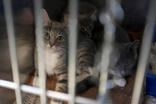 La SPCA de Montréal sonne l'alarme: le refuge pour animaux annonce par voie de... (Photo: archives La Presse)